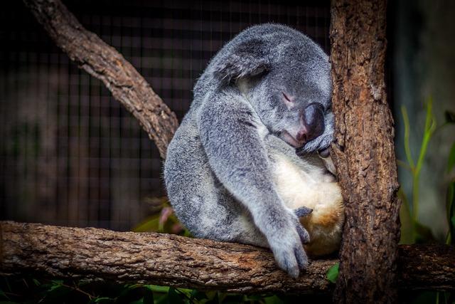 Animal, Blur, Close-up, Cute, Fur, Koala, Mammal