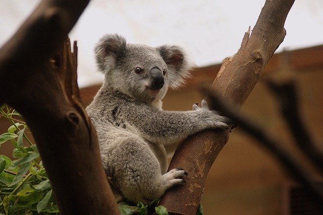 Koala, Mammals, Wildlife, Nature, Fur, Bear, Animals