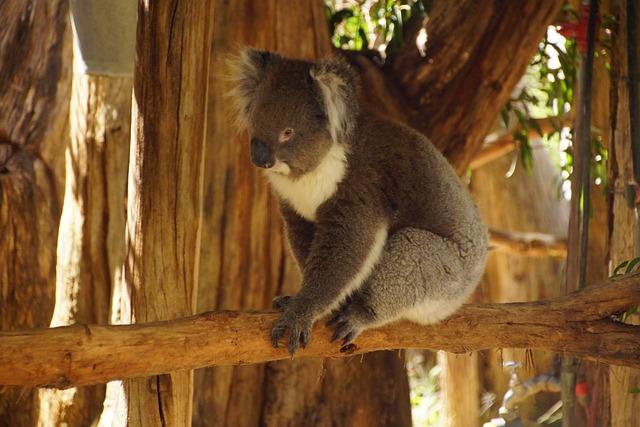 Koala, Bear, Marsupial, Cute, Timid, Australia, Plush