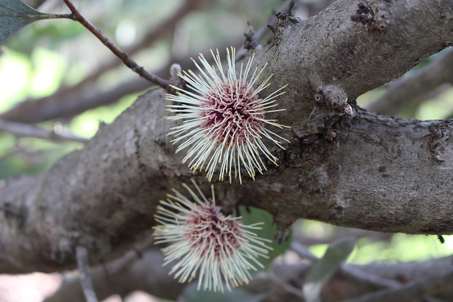 Pin-cushion Hakea, Emu Bush, Flower, Spherical, Kodjet