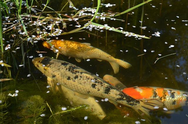 Koi, Koikarpfen, Ornamental Fish, Fish Pond