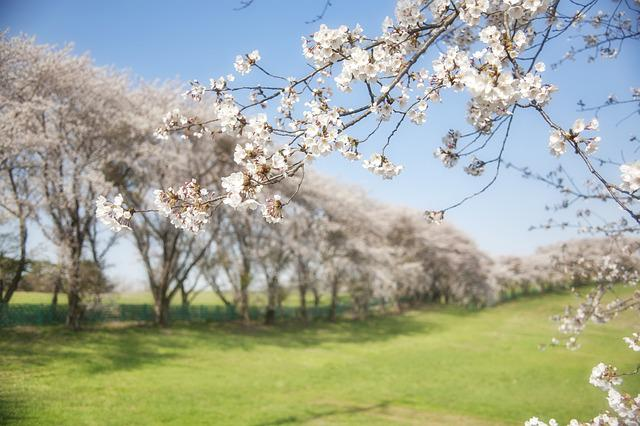 Korea, Cherry, Flowers, Field, Spring, Trees