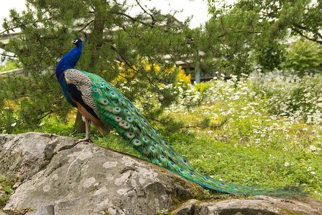 Peacock, Pheasant, Bird, Korkeasaari