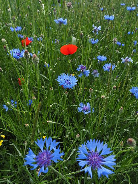 Cornflowers, Kornblumenfeld, Flower, Flowers, Blue