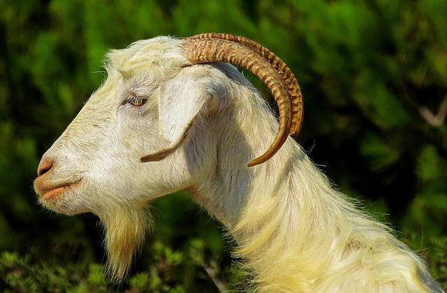 Capra, Goats, Fauna, Wildlife, Kos, The Island Of Kos