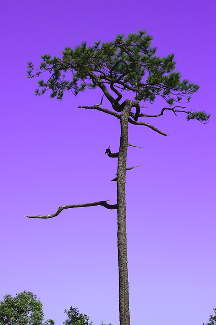 Kradueng, Cliff, Sky, Two Pine