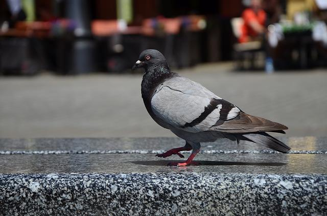 Pigeon, City, Walking, Dove, Stone, Bench, Grey, Krakow