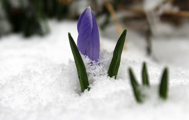 Krokus, March, The Return Of Winter, Season, Nature
