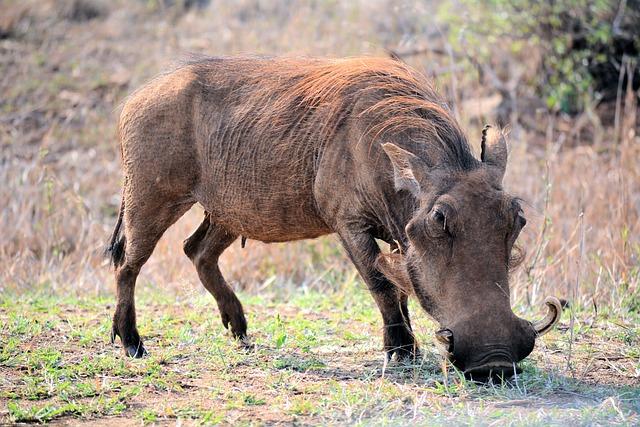Whartog, Kruger Park South Africa, Wildlife, Nature