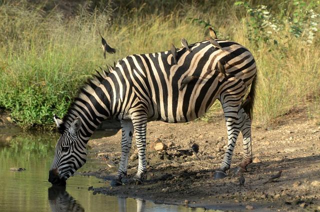 South Africa, Zebra, Kruger