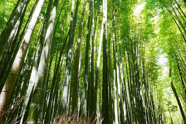 Bamboo, Japan, Kyoto, Green