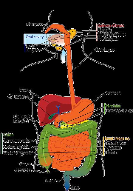 Digestive, System, Human, Digestion, Labelled, Diagram