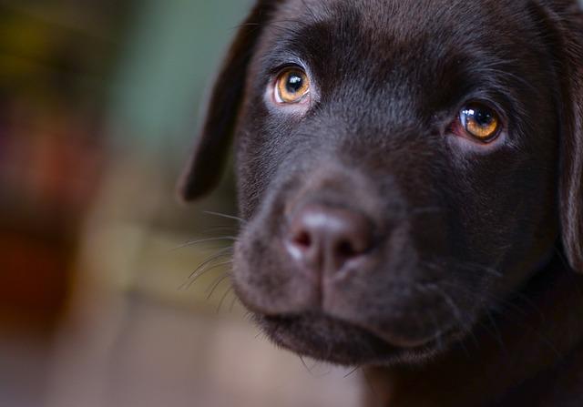 Young, Labrador, Puppy, Brown, Dog, Pet, Animal
