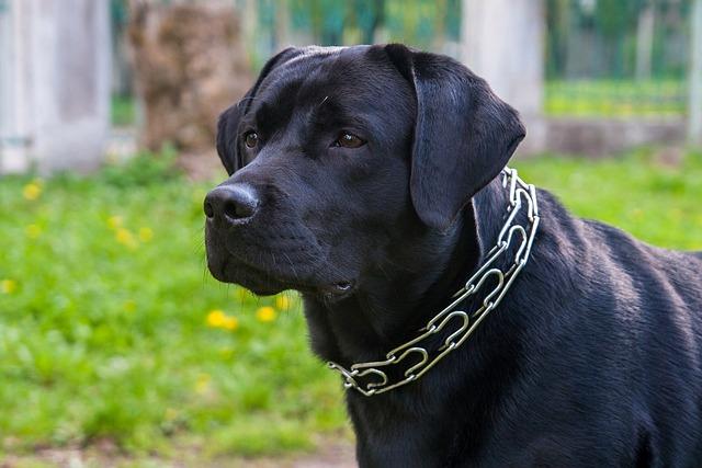 Dog, Labrador, Animals, Sam