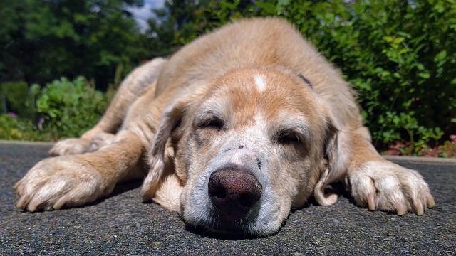 Labrador, Dog, Domestic Animal, Beige, Lying