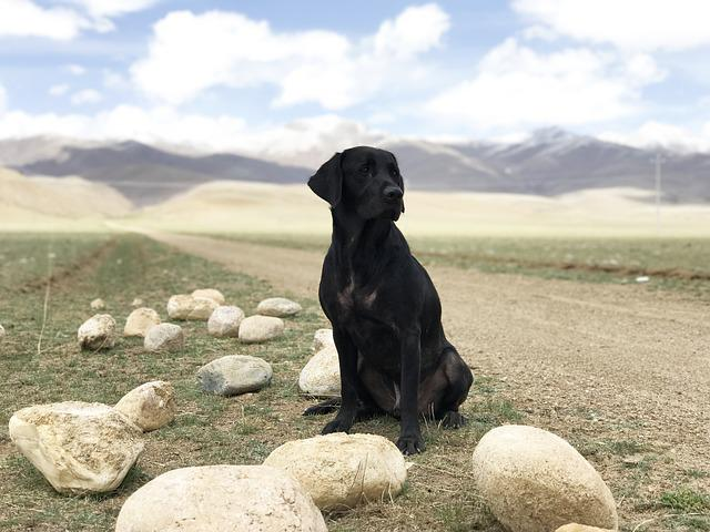 The Black Dog, Labrador, Prairie