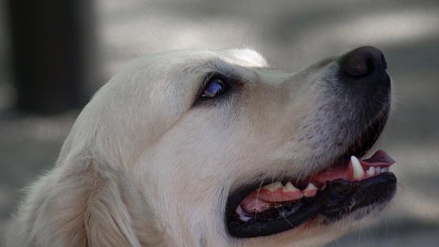 Labrador, Dog, Canine, Race