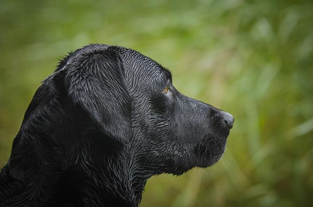 Labrador Retriever, Kind, Bird Hunting