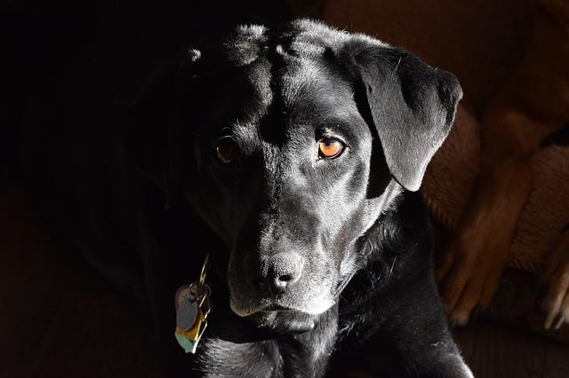 Labrador Retriever, Black Labrador Retriever