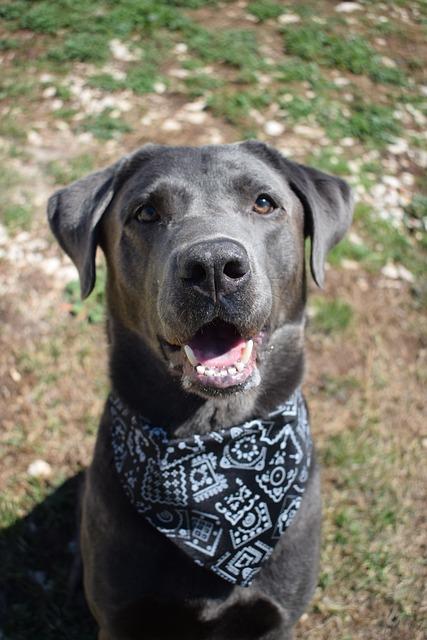 Dog, Scarf, Labrador