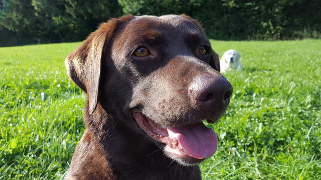 The Head Of A Dog Labrador, Labrador, Dog