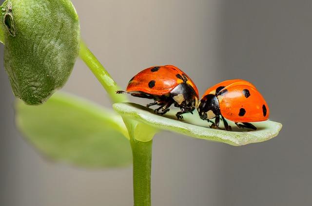 Ladybugs, Ladybirds, Bugs, Insects, Couple, Love, Two