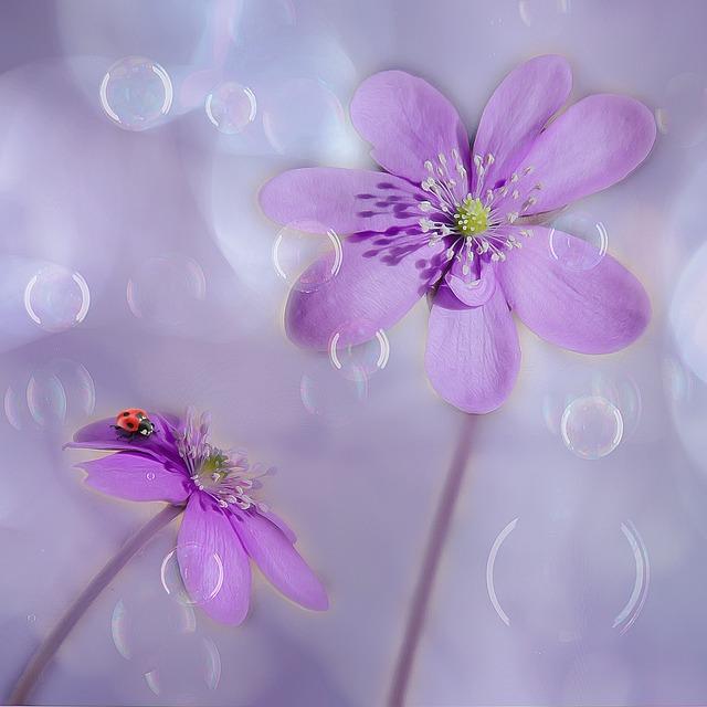 Hepatica, Soap Bubbles, Ladybug, Anemone Hepatica