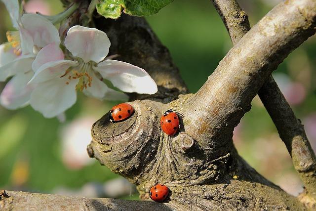Ladybug, Apple Blossom, Branch