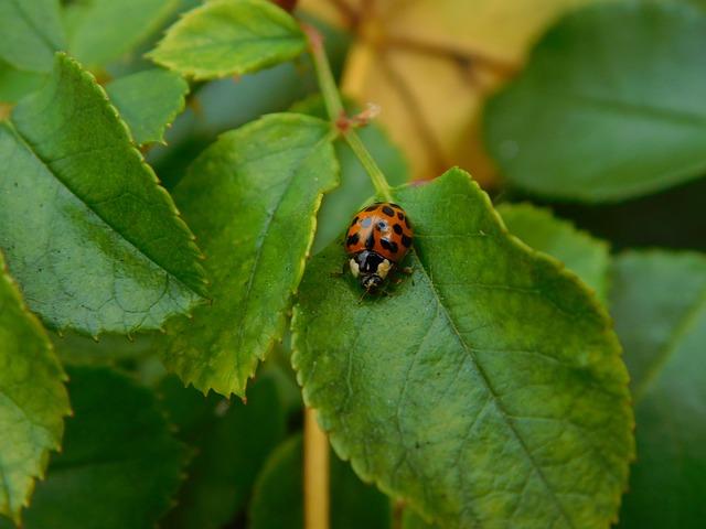 Ladybug, Beetle, Ladybug Leaf, Lucky Charm, Crawl