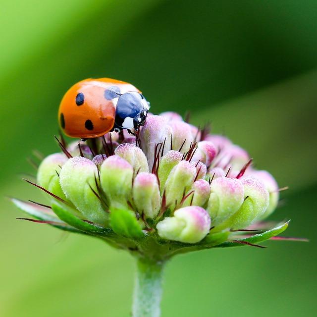 Ladybug, Coccinellidae, Insect, Animal, Beetle