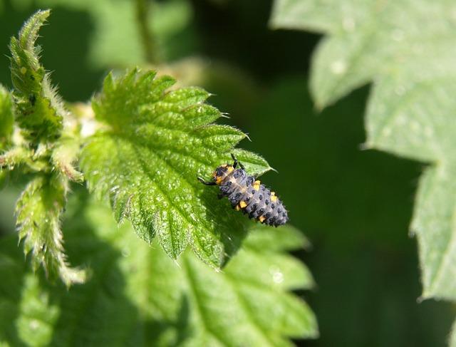 Marienkäfer Larva, Larva, Beetle, Ladybug, Insect