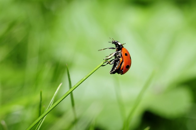 Ladybug, Insect, Nature, Meadow