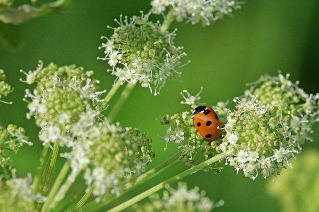 Beetle, Ladybug, Red, Insect, Lucky Charm, Nature, Luck