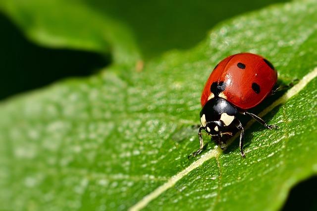 Ladybug, Seven-spot Ladybird, Beetle, Lucky Charm