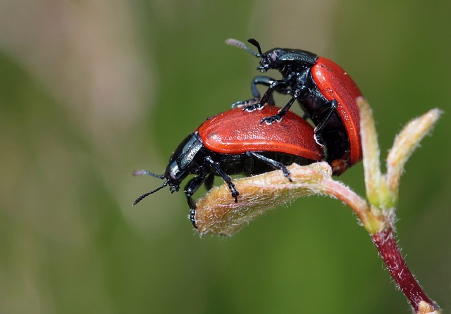 Ladybugs, Beetles, Pair, Insects, Nature, Macro