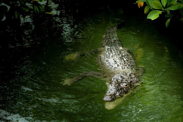 Mexico, Yucatan, Riolagartos, Laguna, Crocodile