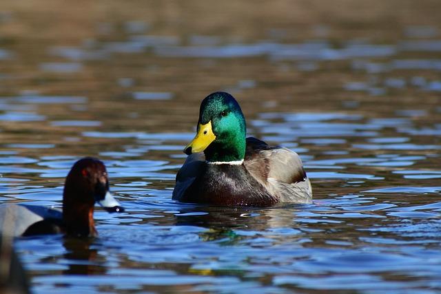Animal, Lake, Waterside, Bird, Wild Birds, Duck