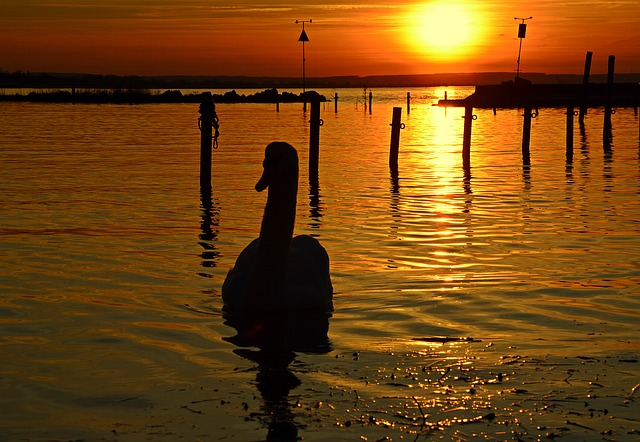 Lake Balaton, In The Evening, Swan, Dusk, Sunset, Light