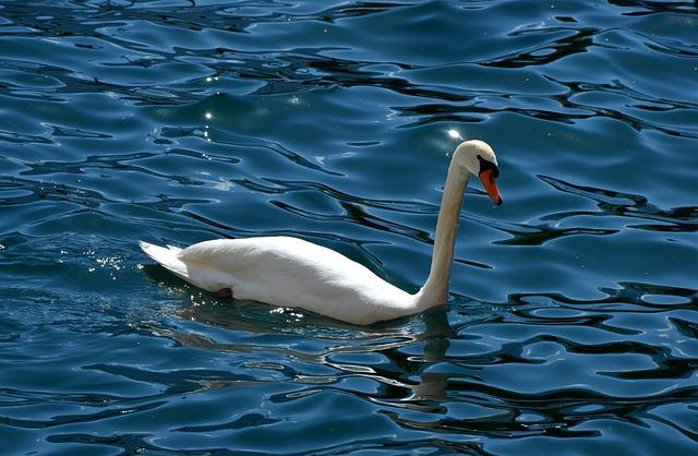 Water, Nature, Bird, Swimming, Lake, Swan, Beautiful