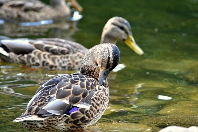 Duck, Bird, Nature, Water, Lake, Animal, Wild Ducks
