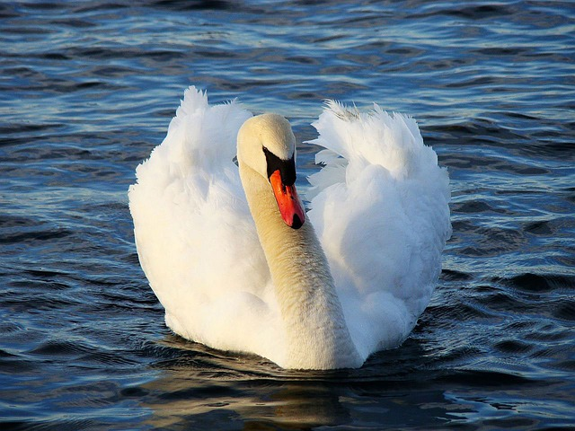 Swan, Bird, Animal, Water, Lake, Daybreak