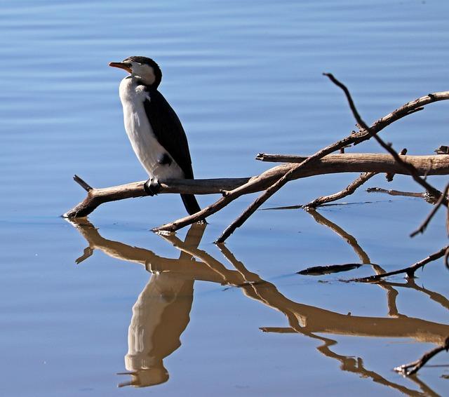 Bird, Shag, Perched, Branch, Lake, Wildlife, Reflection