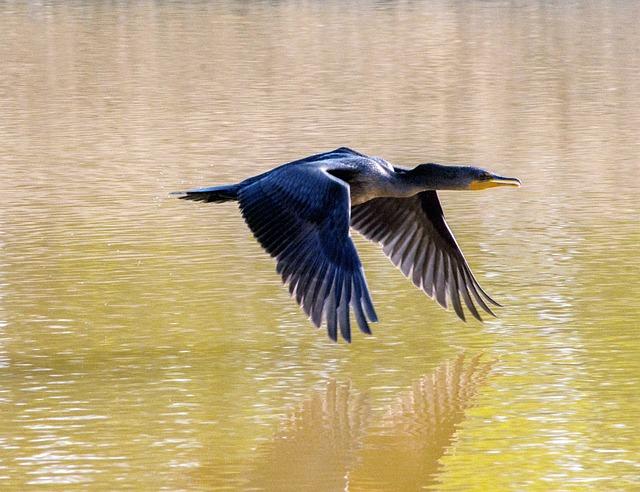 Cormorant, Flying, Lake