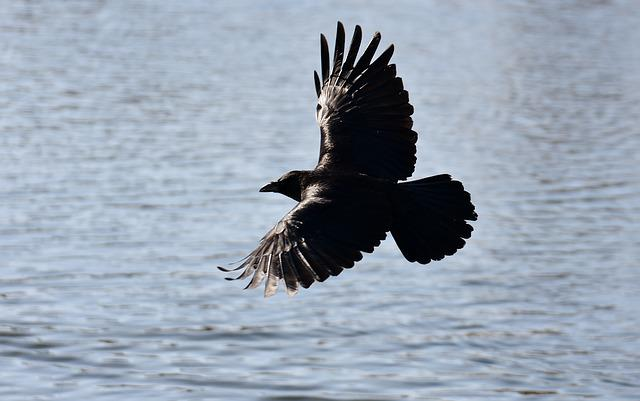 Common Raven, Raven, Fly, Lake, Raven Bird, Crow
