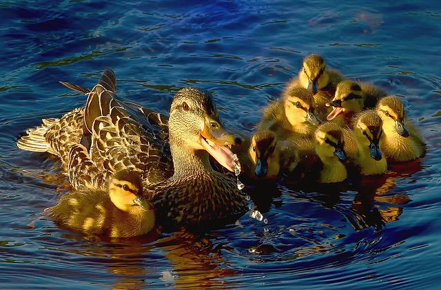 Ducks, Water, Lake, Colors, Wild Ducks, Plumage, Nature