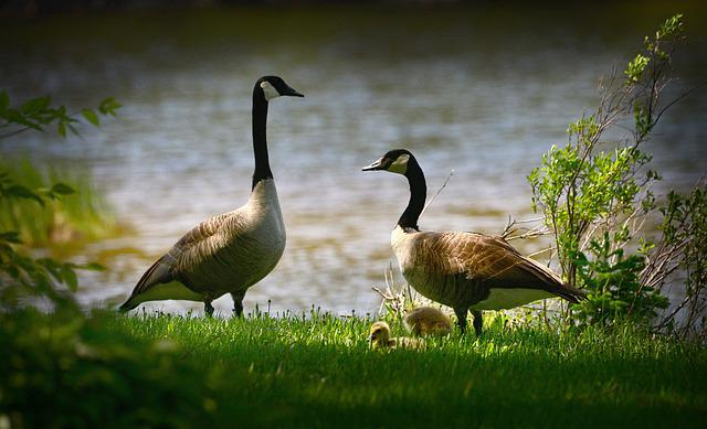 Geese, Bustards, Birds, Small, Feathers, Water, Lake