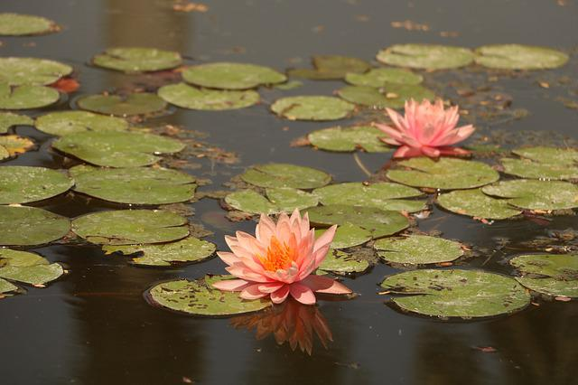Pool, Lotus, Lily, Aquatic, Lake, Water, Floating
