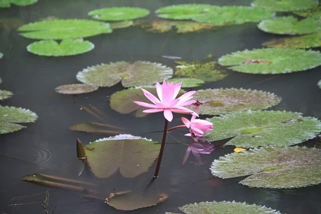 Pond, Lotus, Water, Lily, Lake, Flowers, Greens
