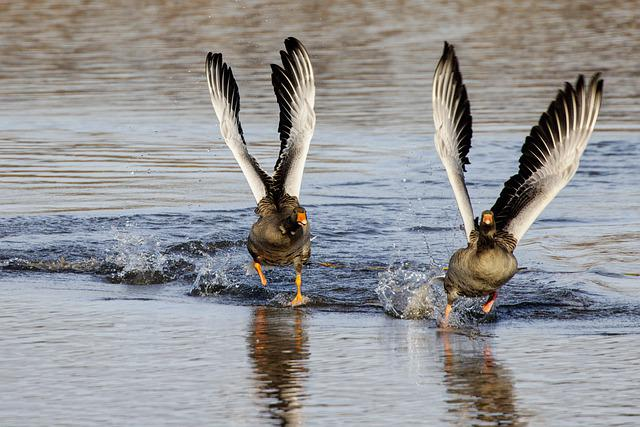 Greylag Geese, Flapping, Lake, Geese, Birds, Waterfowls