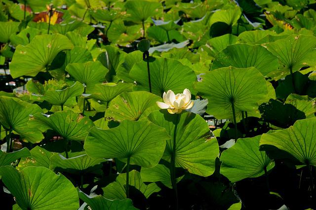 Water Lilly, Lake, Water, Nature, Pond, Lilly, Green